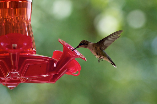 Hummingbird 26